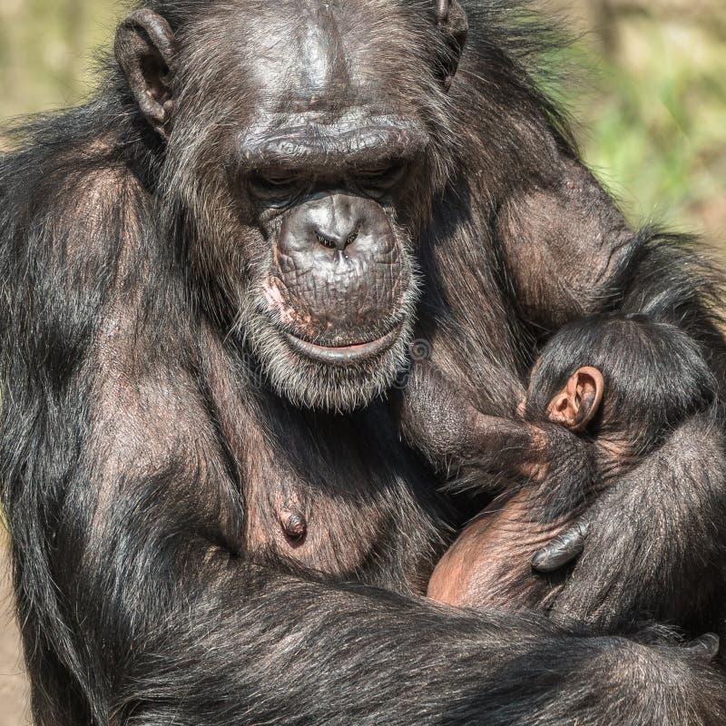 Portret van moederchimpansee met haar grappige kleine baby royalty-vrije stock afbeeldingen