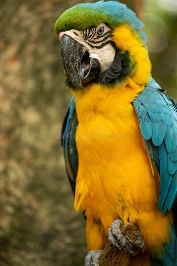 Portret van mooi en colorfull ara royalty-vrije stock foto