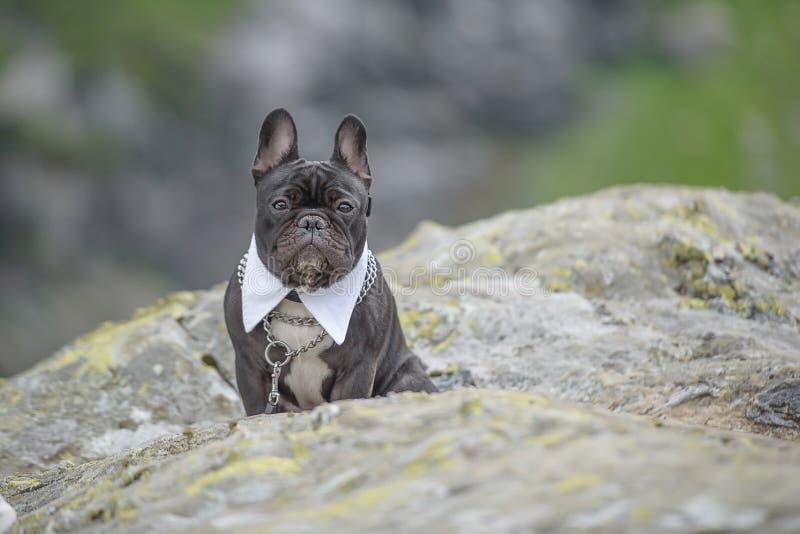 Portret van mooie, elegante volwassen pug met witte overhemdskraag, zittend op een grote rots, vooruit bewakend en kijkend recht royalty-vrije stock foto's