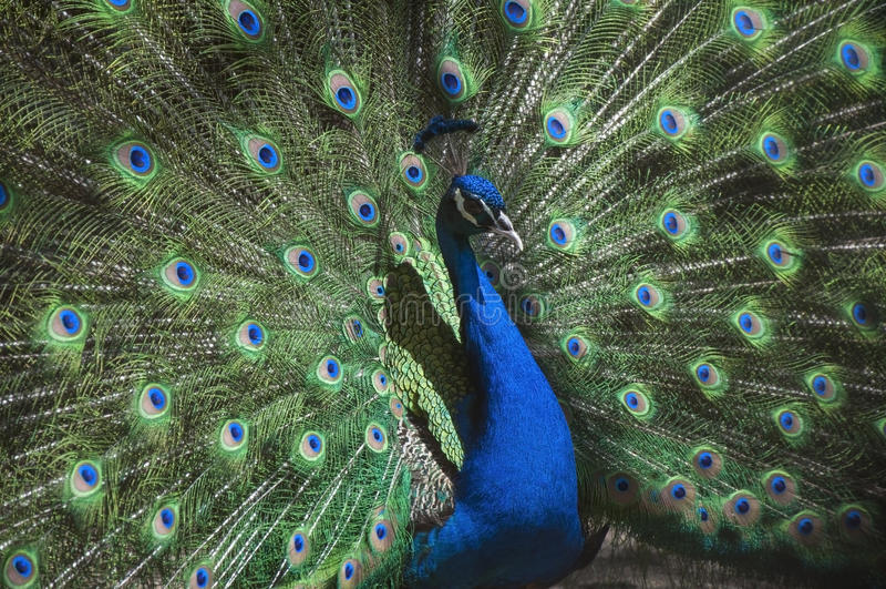 Portret van mooie pauw (Indische peafowl) met uit veren royalty-vrije stock afbeeldingen