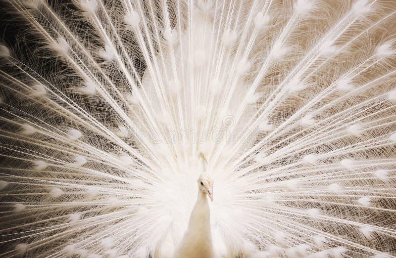 Portret van mooie witte pauw met uit veren stock afbeelding