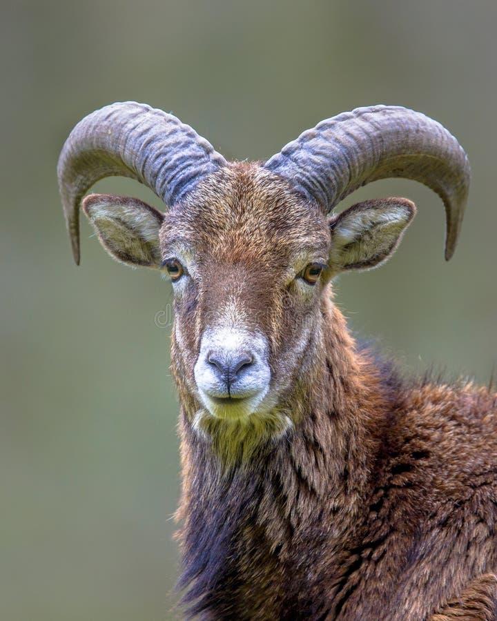Portret van Mouflon-schapenmannetje op heuvel stock foto's