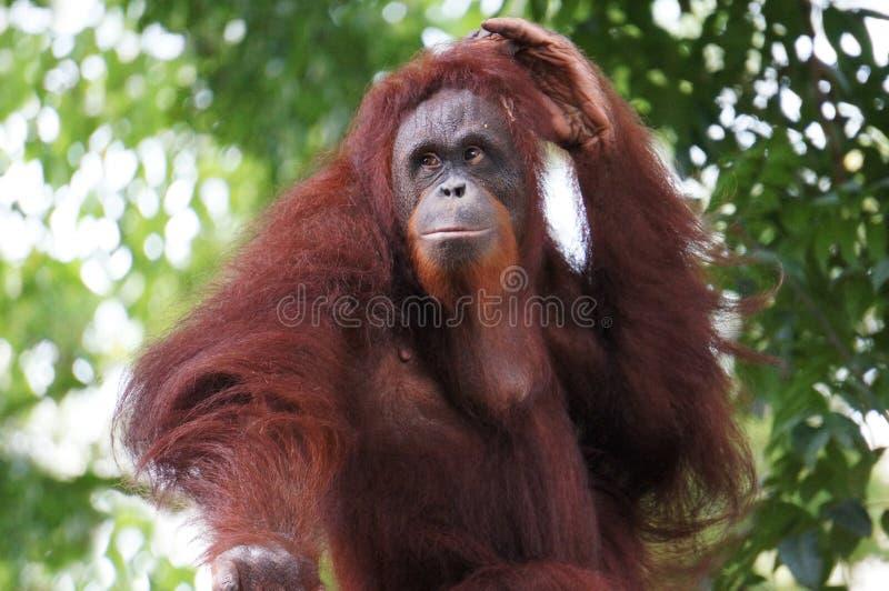 Portret van Orang-oetan Utan stock afbeelding
