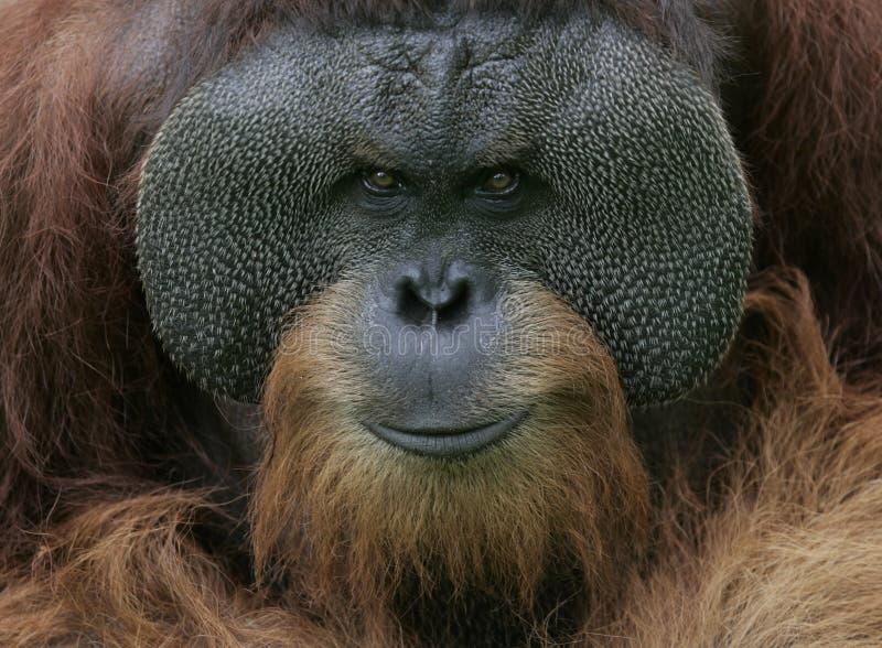 Het Portret van de orangoetan stock afbeelding
