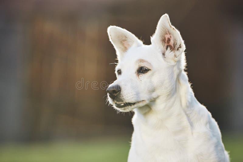 Portret van oude hond royalty-vrije stock foto
