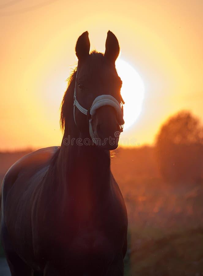 Portret van paard tegen zon Zonsondergang stock foto's