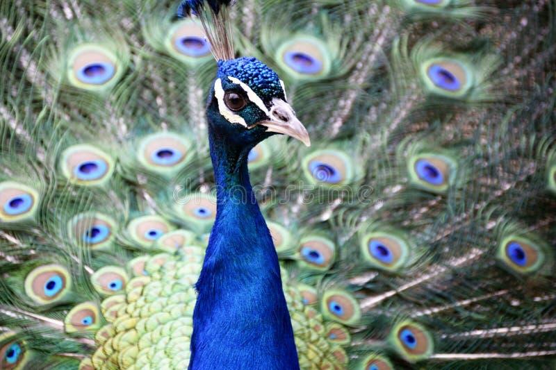 Portret van peafowl royalty-vrije stock afbeeldingen