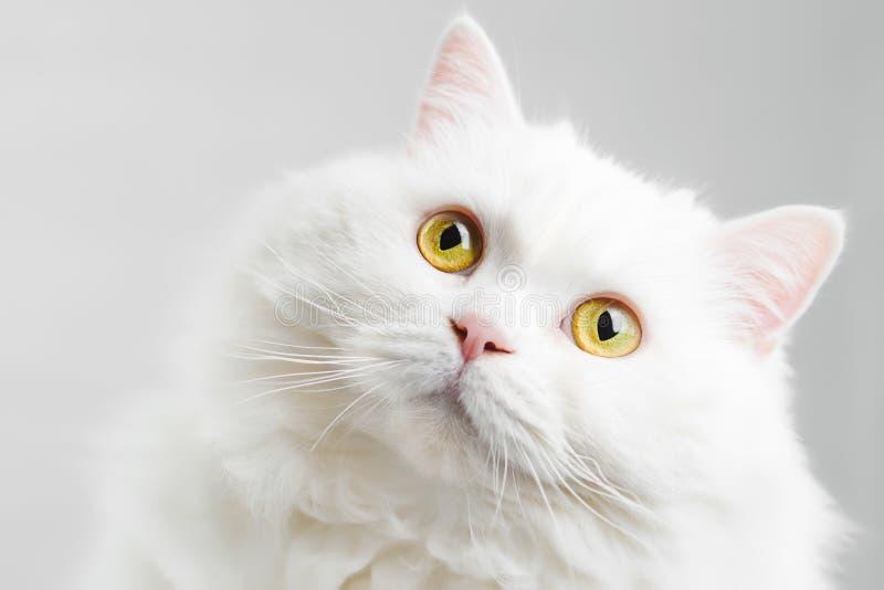 Portret van pluizige binnenlandse witte hoogland rechte Schotse die kat op witte studioachtergrond wordt geïsoleerd Leuk katje of royalty-vrije stock foto's