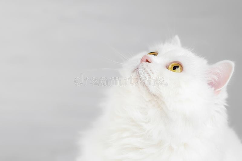 Portret van pluizige binnenlandse witte hoogland rechte Schotse die kat op witte studioachtergrond wordt geïsoleerd Leuk katje of stock afbeelding