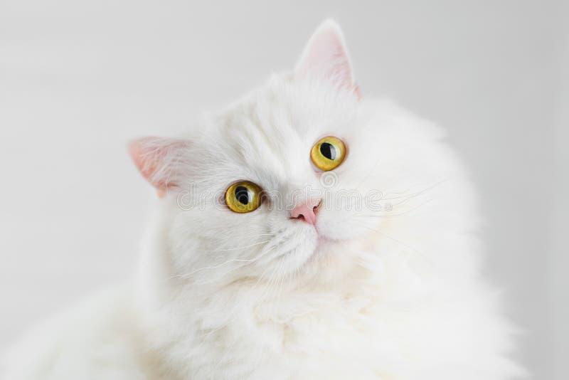 Portret van pluizige binnenlandse witte hoogland rechte Schotse die kat op witte studioachtergrond wordt geïsoleerd Leuk katje of royalty-vrije stock foto