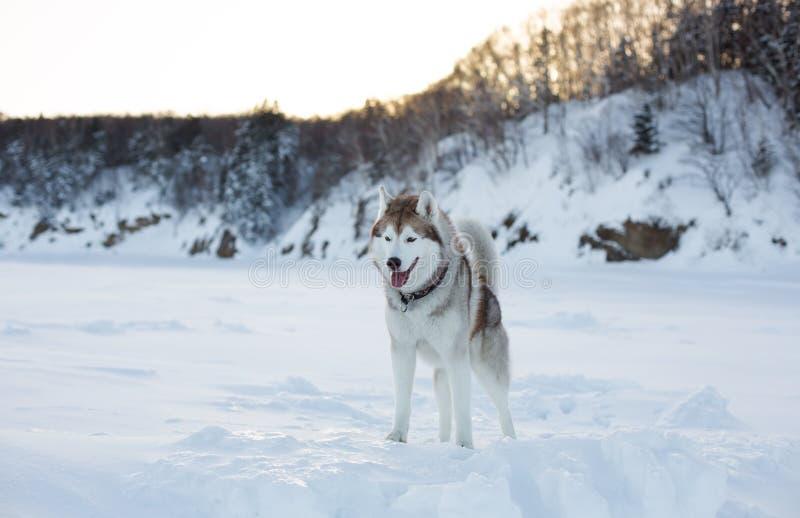 Portret van prideful hondras Siberische schor status op de ijsijsschol van het bevroren overzees bij zonsondergang stock foto's
