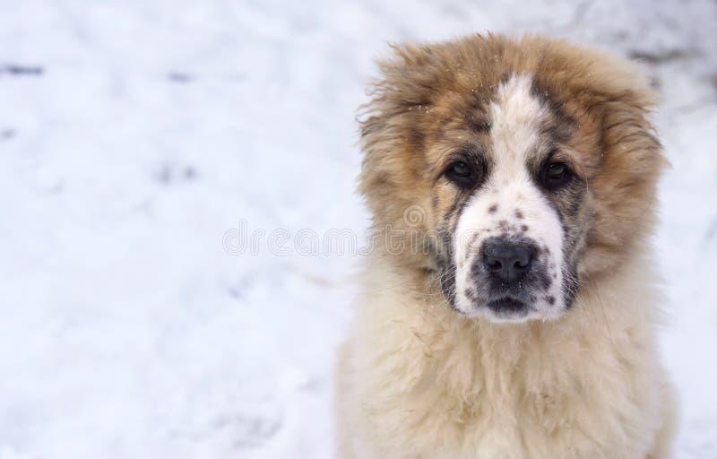 Portret van puppy van Centrale Aziatische Herder royalty-vrije stock afbeelding
