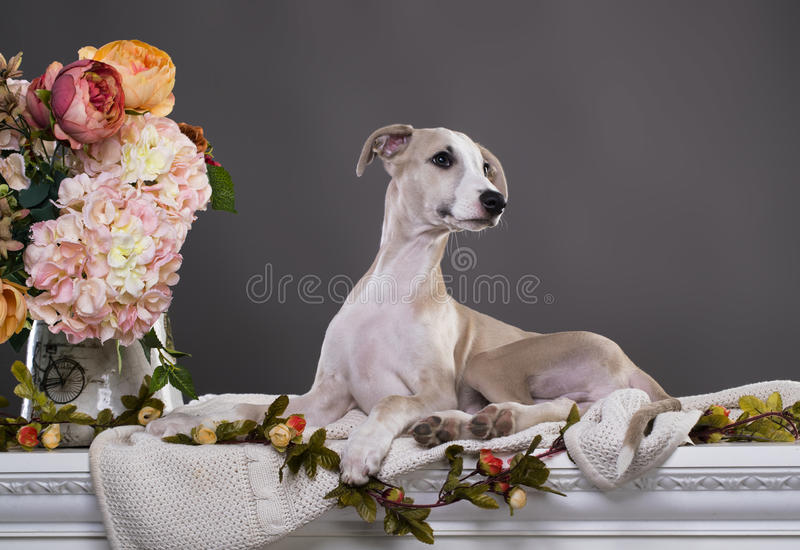 Portret van puppywhippet, stock afbeelding