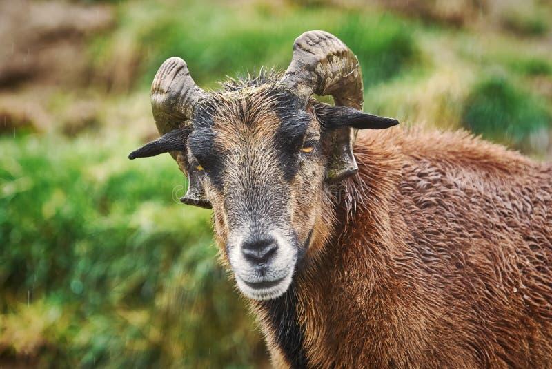 Portret van Ram stock afbeelding