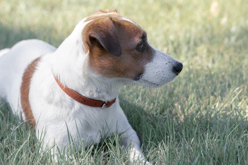 Portret van rasechte leuke jonge hond Jack Russell Terrier die in de zomerpark liggen op gras en recht bekijken stock afbeelding