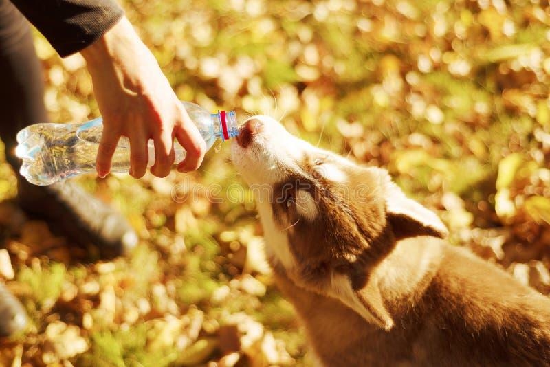 Portret van redheaded puppy de hond drinkt water van plastic fles royalty-vrije stock foto's