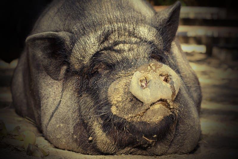 Portret van reusachtig varken royalty-vrije stock fotografie