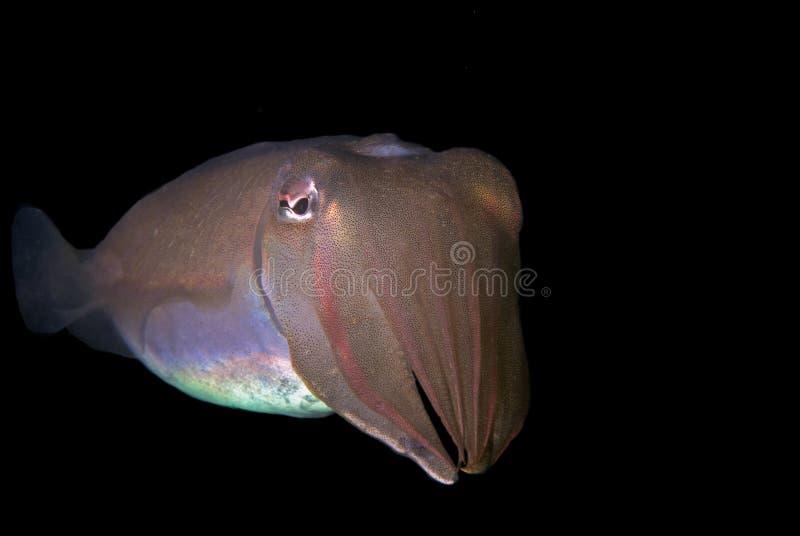 Portret van reuzeinktvissen stock afbeeldingen