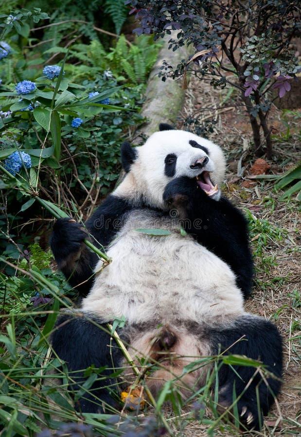 Portret van reuzepanda, Ailuropoda-melanoleuca, of Panda Bear Sluit omhoog van reuzepanda die en bamboe eten liggen royalty-vrije stock afbeeldingen
