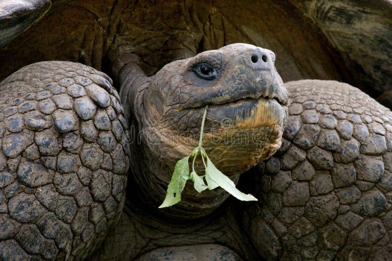 Portret van reuzeschildpadden De eilanden van de Galapagos Vreedzame oceaan ecuador stock fotografie