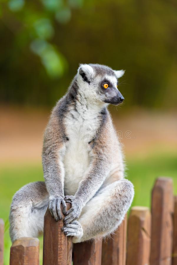 Portret van ring-De steel verwijderde van Maki, inwoner aan Madagascar royalty-vrije stock foto's