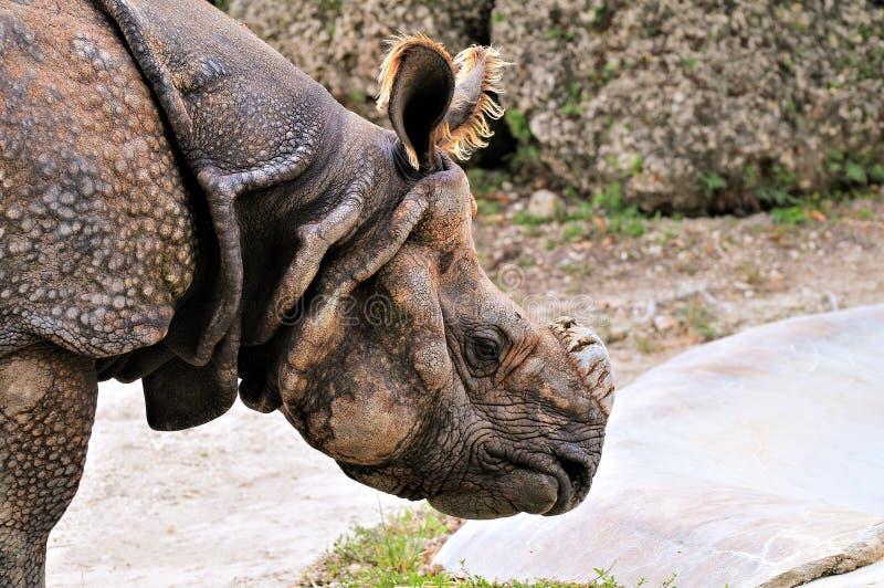 Portret van rinoceros stock foto's