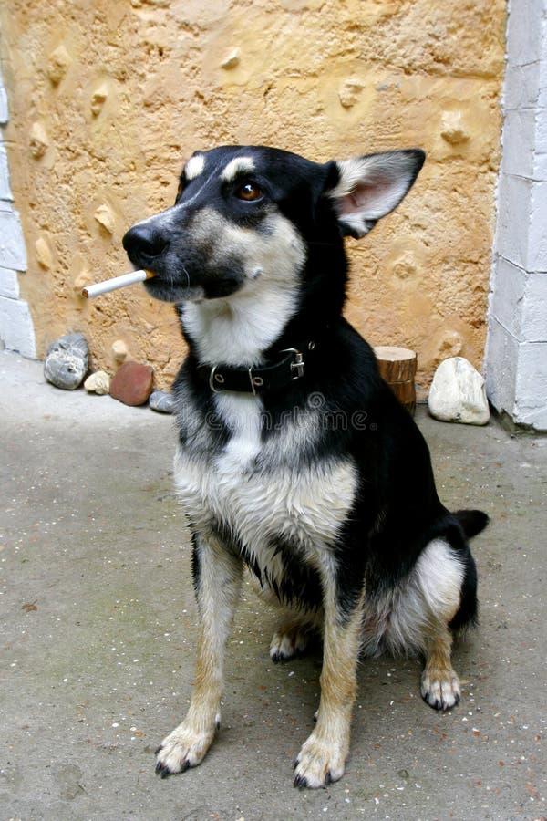 Portret van rokende hond royalty-vrije stock afbeeldingen