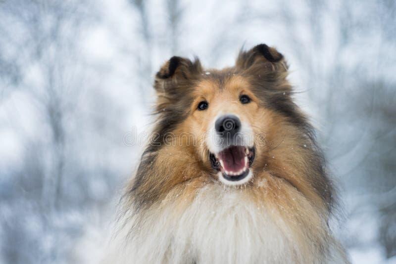 Portret van ruwe collie, de winter royalty-vrije stock fotografie