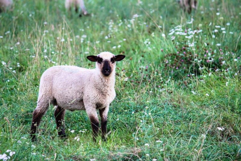 Portret van schapen die met zwarte kop en op groene weilandweide lopen eten stock foto