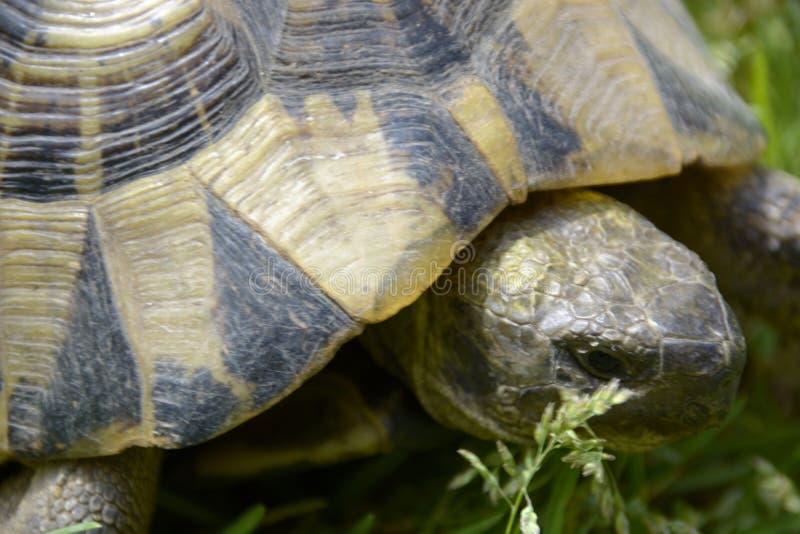 Portret van schildpad stock foto