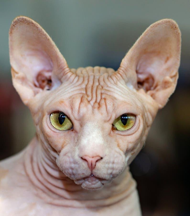 Portret van sfinxkat met gele ogen stock afbeelding