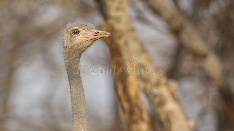 Portret van Somalische Struisvogel die net eruit zien royalty-vrije stock afbeelding