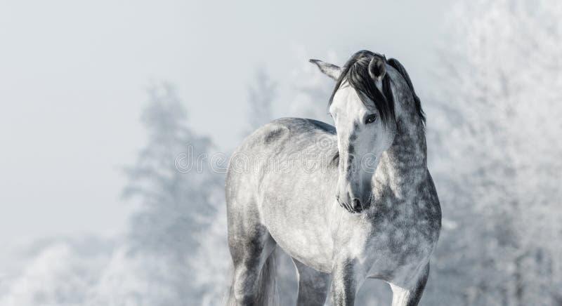 Portret van Spaans volbloed- grijs paard in de winterbos stock fotografie