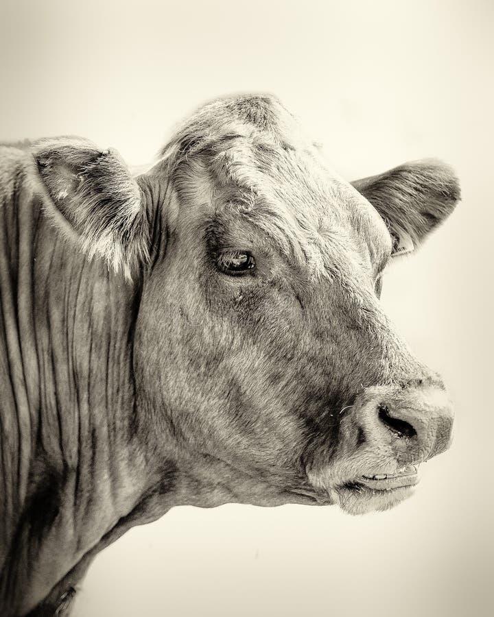 Portret van Stier stock afbeelding