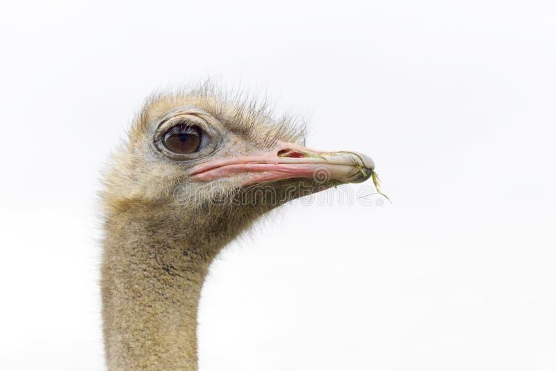 Portret van struisvogel royalty-vrije stock foto