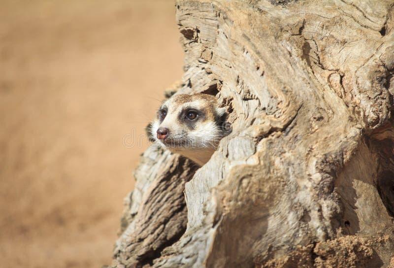 Portret van suricatta van Meerkat Suricata, Afrikaanse inheemse dierlijke, kleine carnivoor stock afbeeldingen