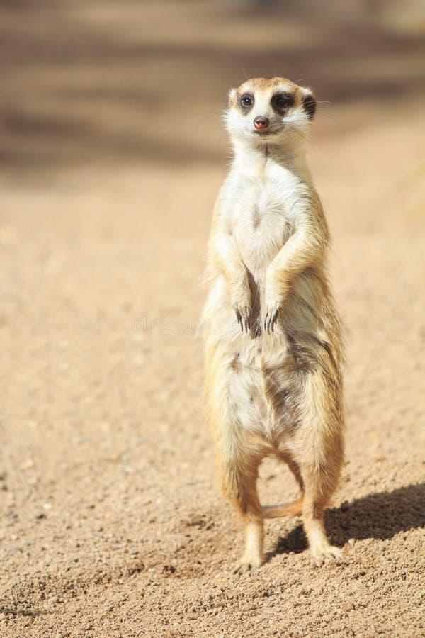 Portret van suricatta van Meerkat Suricata, Afrikaanse inheemse dierlijke, kleine carnivoor royalty-vrije stock afbeelding