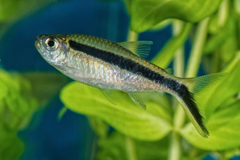 Portret van tetrafredcochui van vissenboehlkea in aquarium stock fotografie