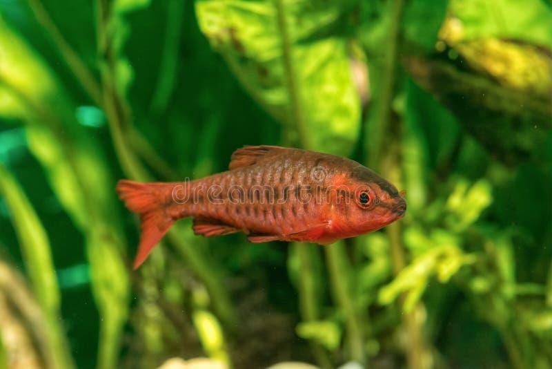 Portret van titteya van Puntius van livebearervissen in aquarium royalty-vrije stock fotografie