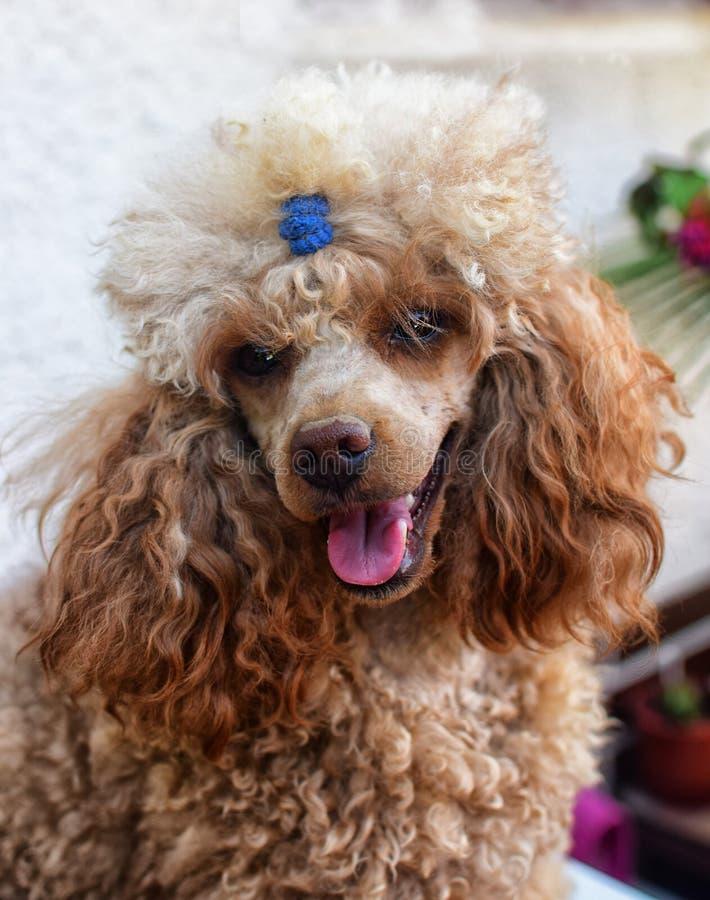 Portret van Toy Poodle Detail op hoofd en ogen Weinig leuk puppy stock afbeeldingen