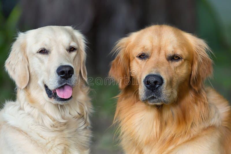 Portret van twee jonge schoonheidshonden royalty-vrije stock afbeelding