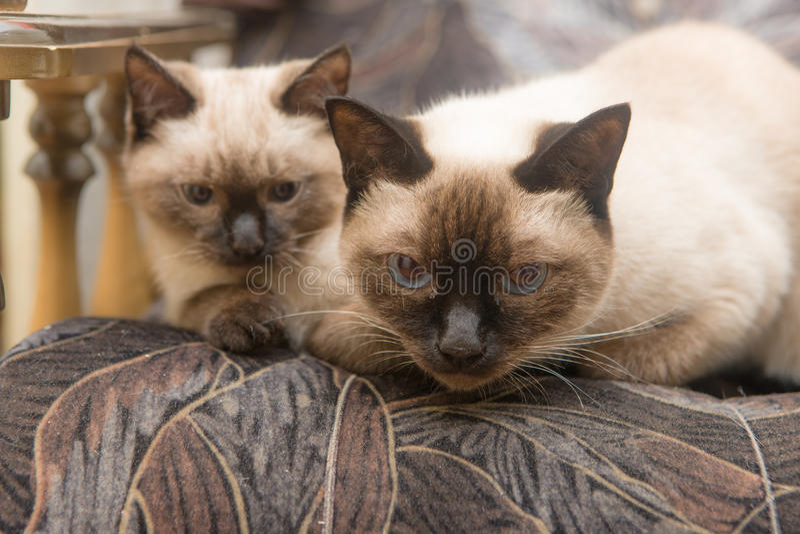 Portret van twee katten royalty-vrije stock afbeeldingen