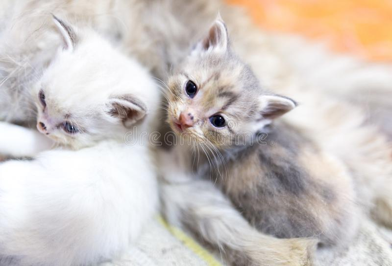 Portret van twee kleine katjes dichtbij mamma stock foto's