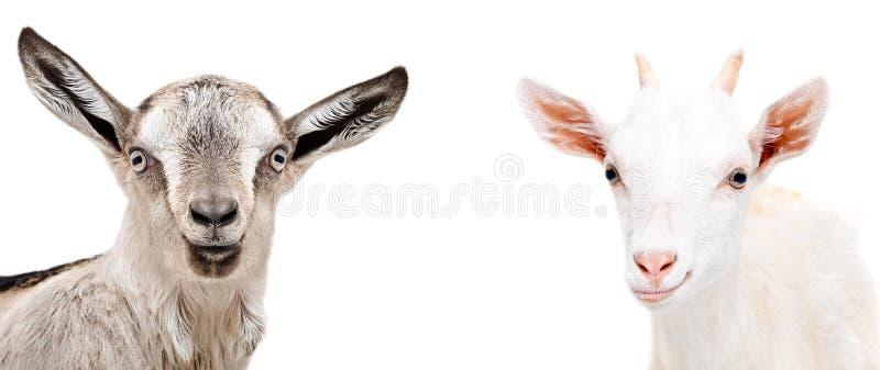 Portret van twee leuke geiten stock foto's
