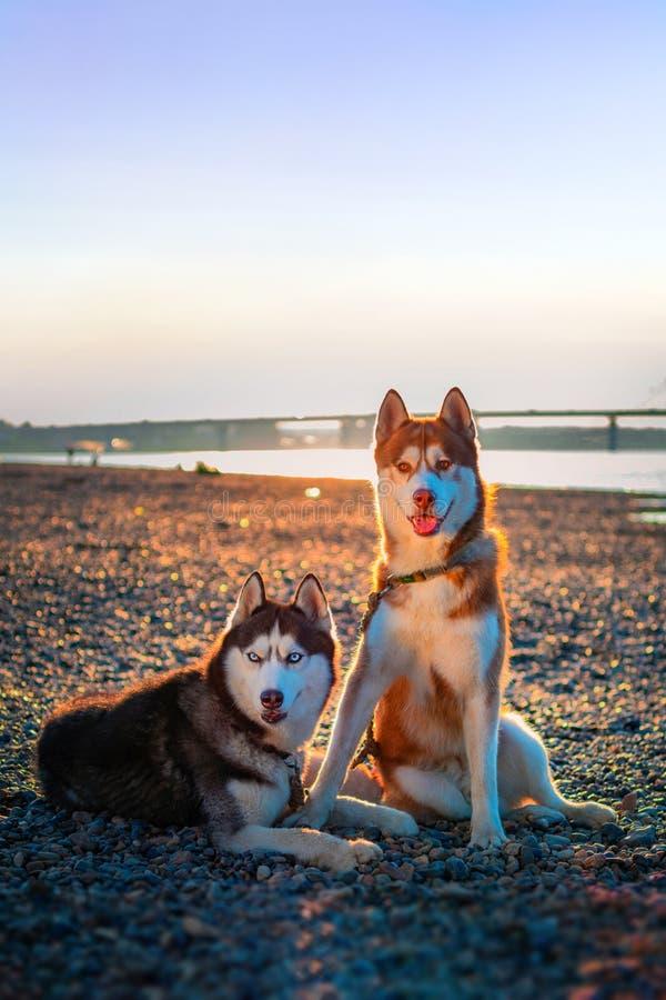 Portret van twee mooie honden Knappe Siberische schor honden op gang in de zomeravond De honden zien dicht vooruit eruit stock foto
