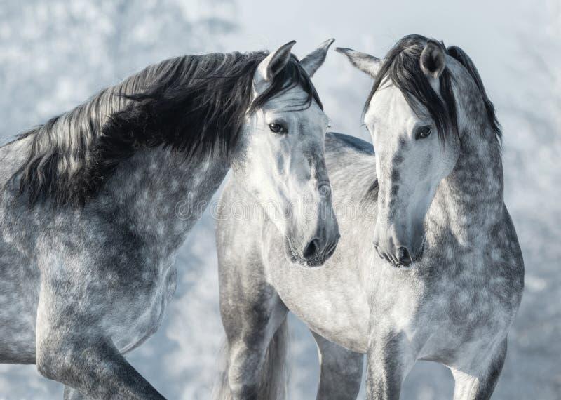 Portret van twee Spaanse grijze hengsten in de winterbos stock fotografie
