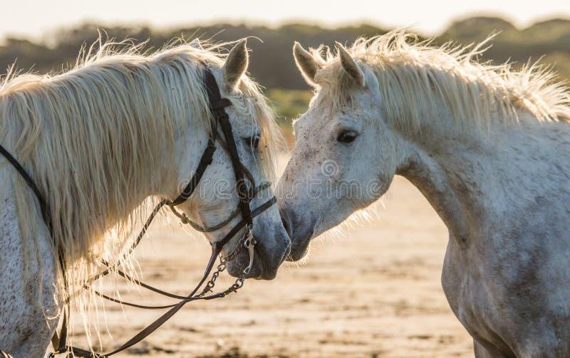 Portret van twee Witte Camargue-paarden Parc Regional DE Camargue frankrijk De Provence stock fotografie