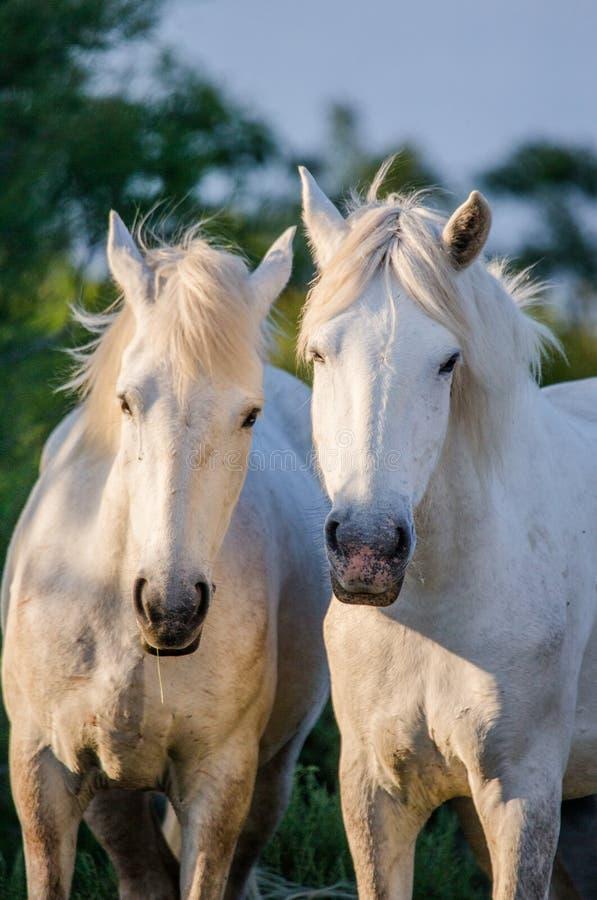 Portret van twee Witte Camargue-paarden Parc Regional DE Camargue frankrijk De Provence royalty-vrije stock foto