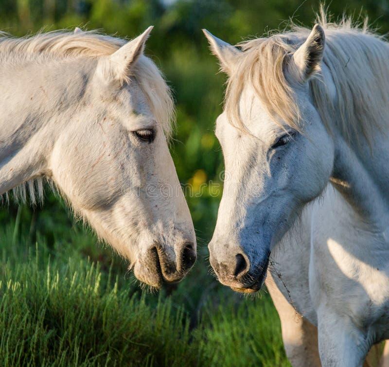 Portret van twee Witte Camargue-paarden Parc Regional DE Camargue frankrijk De Provence royalty-vrije stock fotografie