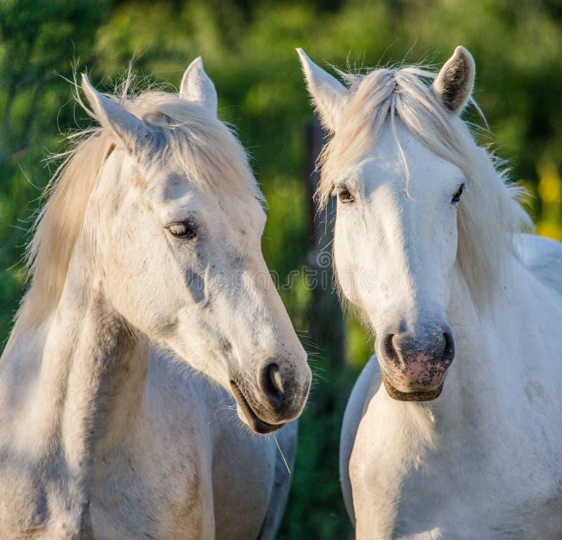 Portret van twee Witte Camargue-paarden Parc Regional DE Camargue frankrijk De Provence royalty-vrije stock foto's